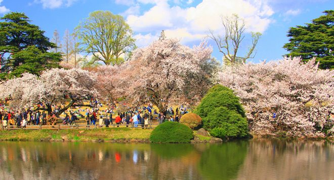 Cherry blossoms of Shinjuku Gyoen